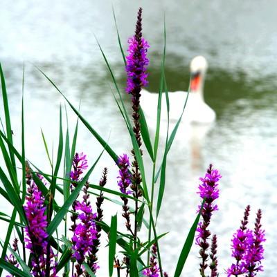 loosestrife lake