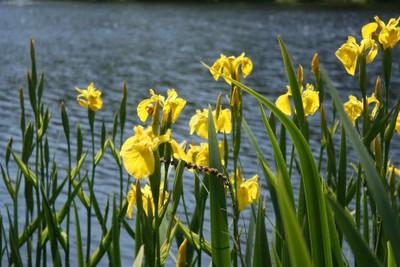 Irises on the Lake