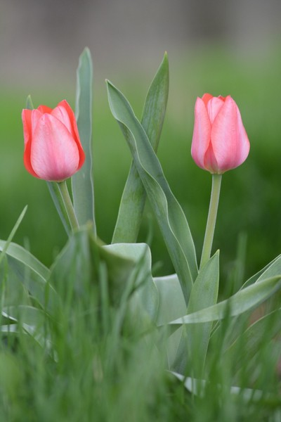 Twin Pink Tulips