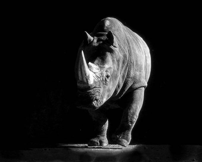 Rhino Running 121 by Dacemac - Textures In Black And White Photo Contest