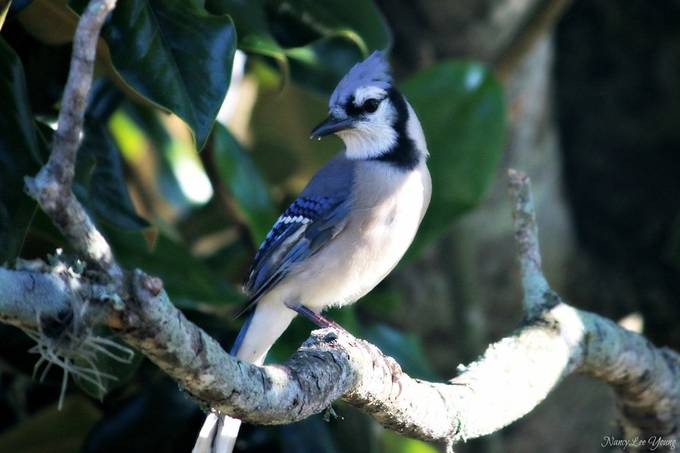 This Bluejay finally posed for me as he perched in my Magnolia tree