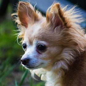 11 year old long haired Chihuahua