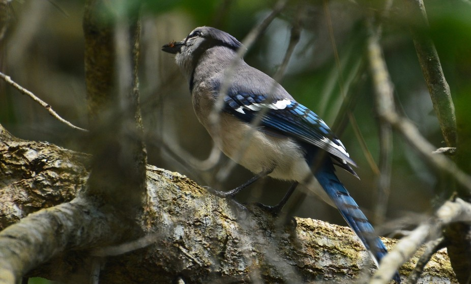 Blue Jay with a fire ant