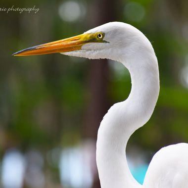 white heron head