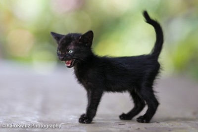 Tiger in a kitten