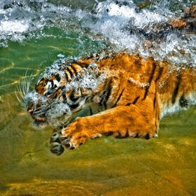 Tiger going under water to get his food