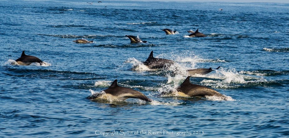 High Energy Long Beak Common Dolphins excite passenger\'s on a recent Whale Watch trip in Monterey...