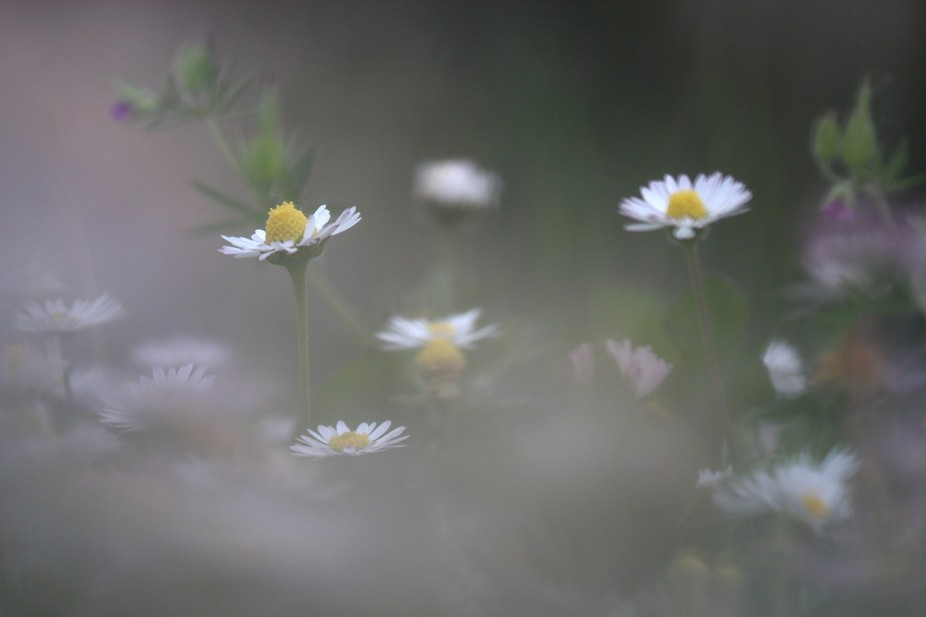Get lost through daisys
