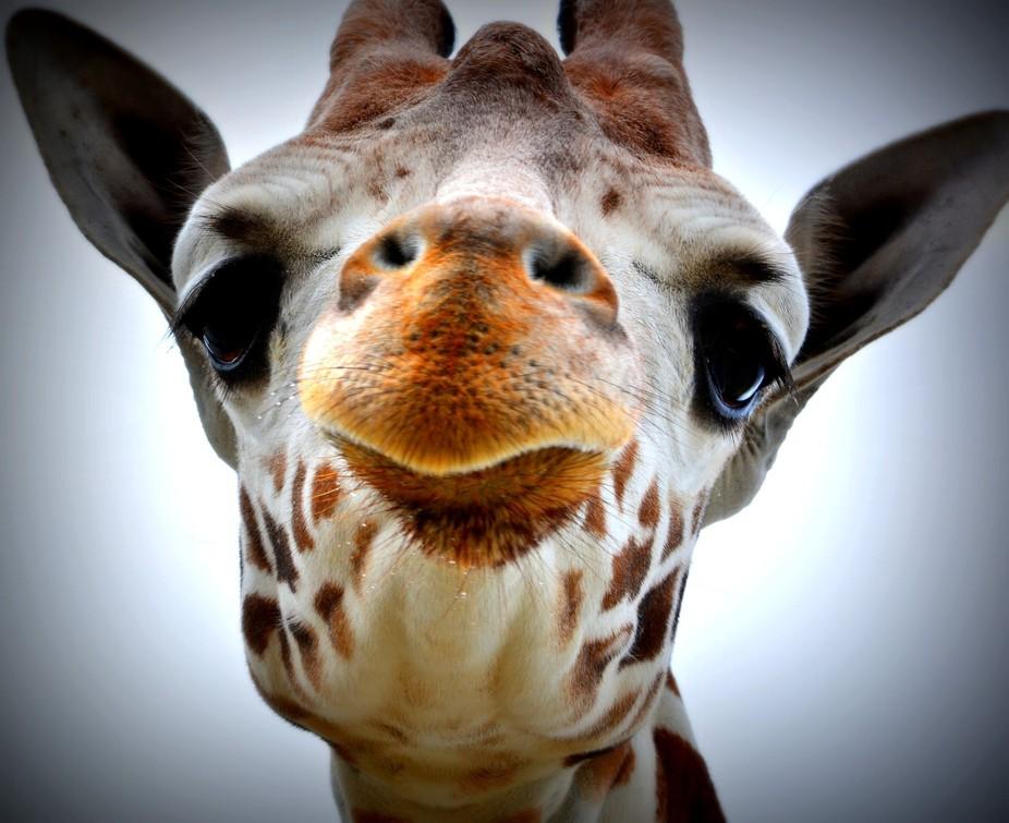giraffe22015KWP