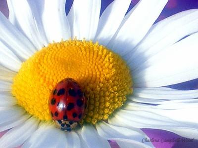 lady bug VB11
