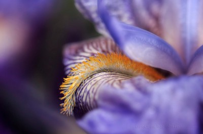 Iris Beard