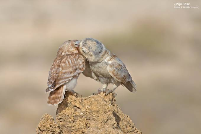 Little Owls in love by vjose - Beautiful Owls Photo Contest