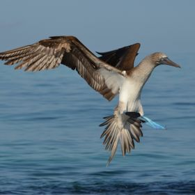 Blue Footed Booby making a landing.  Taken at Elizabeth Bay, Isabella Island in the Galapagos.
