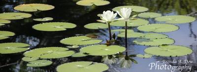 2 white water lilies copy