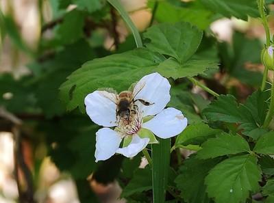 DSC_0053 (2)Honey bee on Blackberry blossom