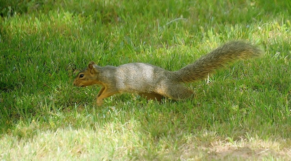 Squirrel, running for a tree.