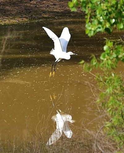 DSC_0234 (2) Great Egret