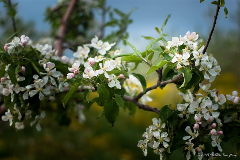 Apple blossoms on the Burgtorf Farms - 2015