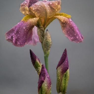 Iris with buds
