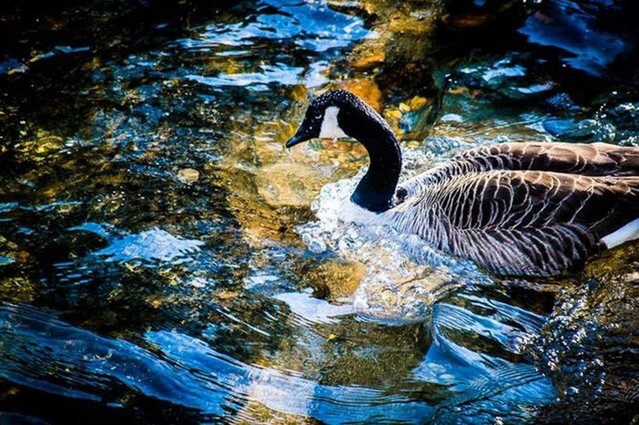 Bold blues, lively waters, and a strong bird create a sense of action and movement in this beauitiful close-up of a goose swimming in river in the North GA mountains.