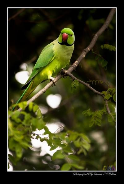 Hyde Park Parakeet