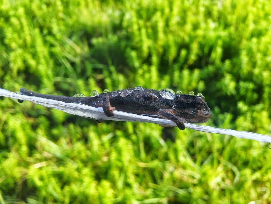 Chameleon with morning dew drops. He\'s lucky that electric fence wasn\'t on.