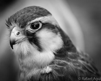 Falcon in B&W