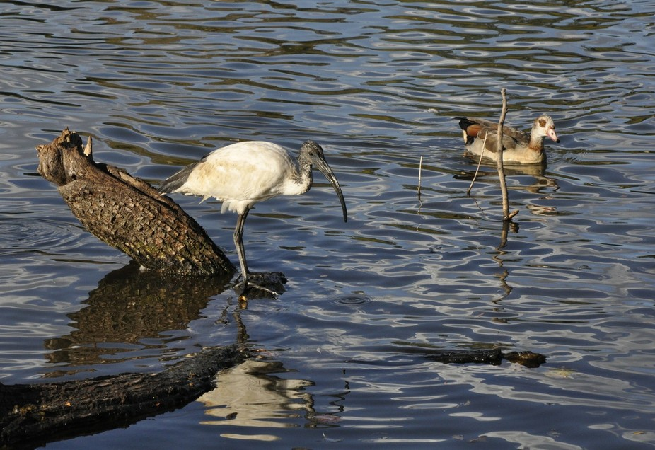 Sacred Ibis and Egyptian Goose. Autumn in the Johannesburg Botanical Gardens, Emmarentia
