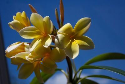 yellow franipani