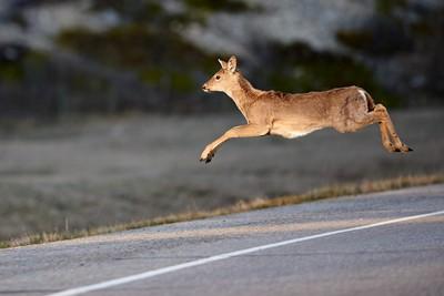 Whitetail-Jump