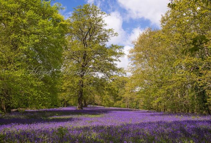 Dreaming of bluebells copy by hazelmansell-greenwood - Meadows Photo Contest