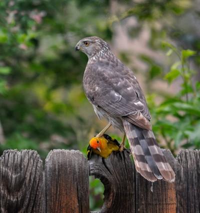 Hawk got a Western Tanager