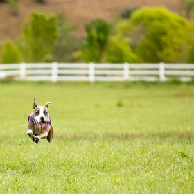 Our pitty running free in a field.