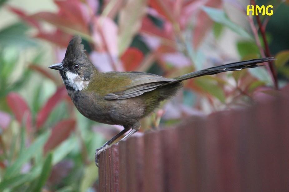 1648. Eastern Whipbird