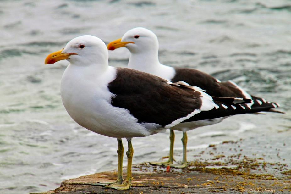 seagull twins