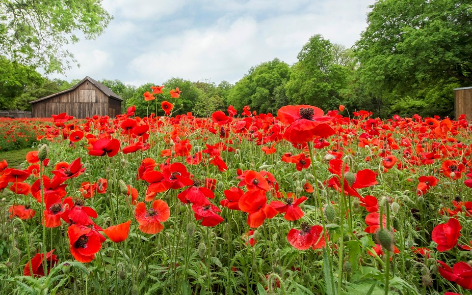 A gorgeous two acres field of poppies in farmhouse setting in a small town.