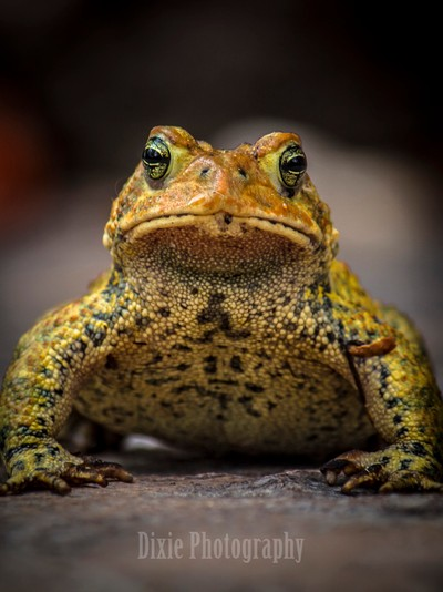 Little Green Toad
