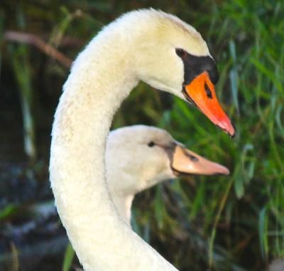 Dad With Teenage Swan  (always protective)