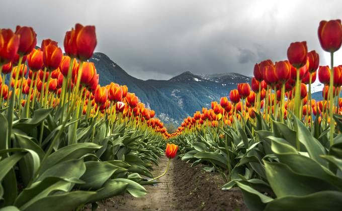 Tulips of the Valley by hasanmahmudtipu - Your Point Of View Photo Contest
