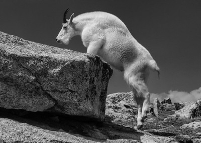 Mountain Goat at 14,000 feet