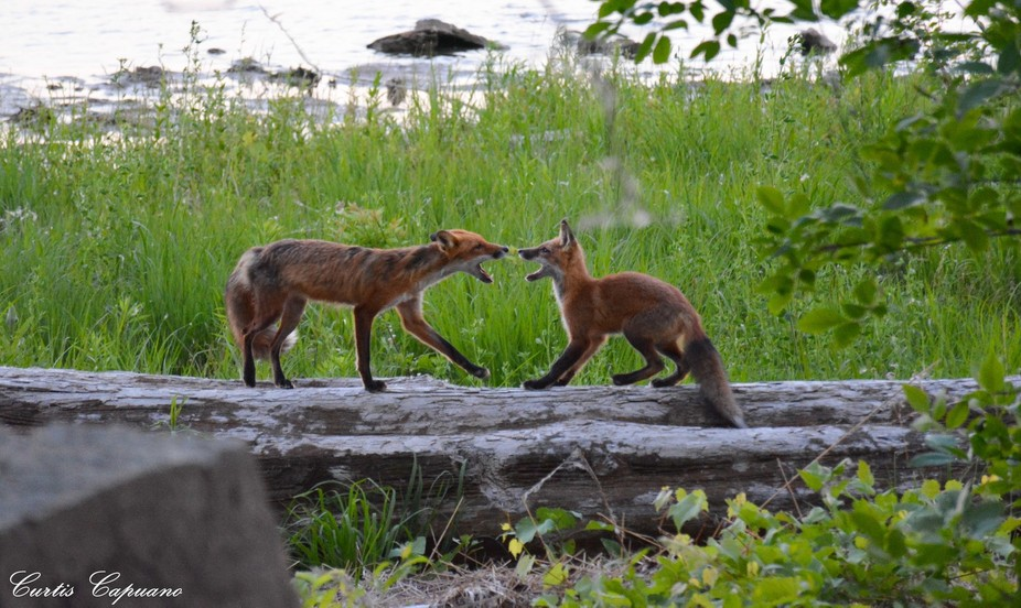 A couple foxes amongst a family of 8 near their den.