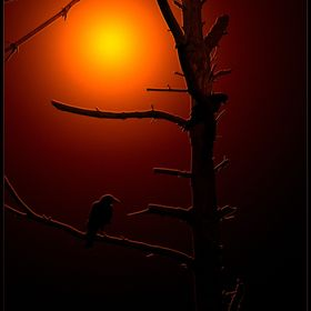 Crows on a dead tree, silhouetted against the setting sun.