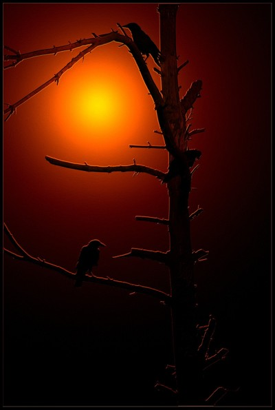 Crows in a Dead Tree at Sunset