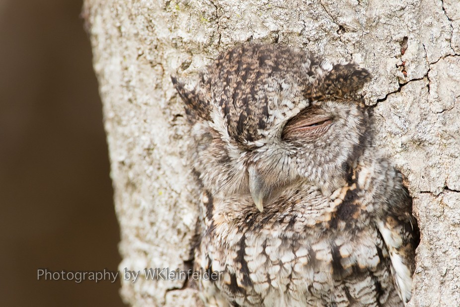 Blending in - This female Sreech owl sits at the entrance to the cavitiy burrow. She blends in so...