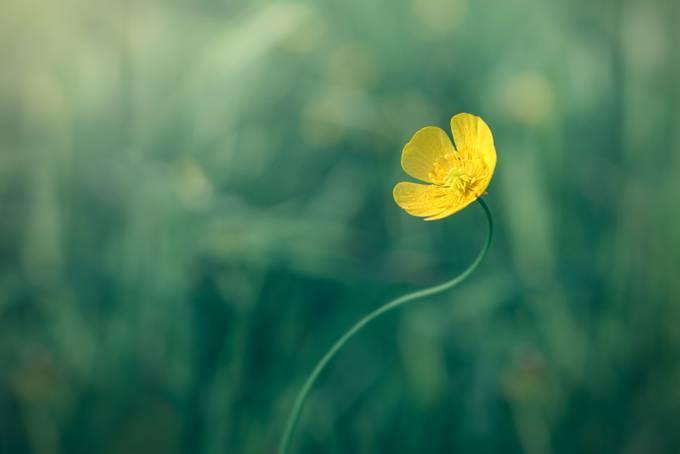 Buttercup by Marcogressler