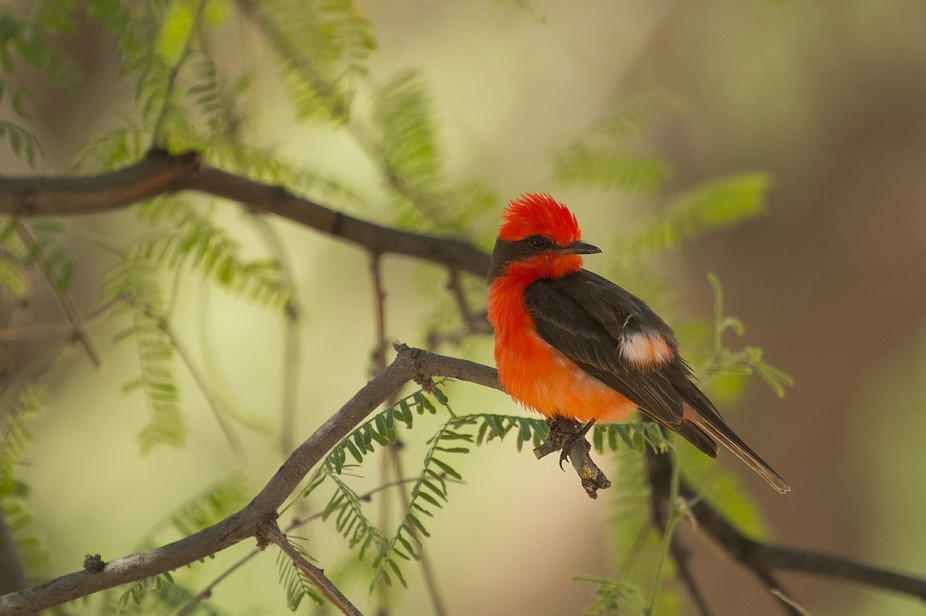 A tiny vermilion flycatcher down along the Salt River in Arizona