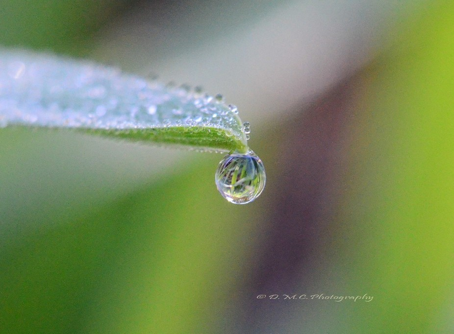 Early morning dew on a lily leaf.