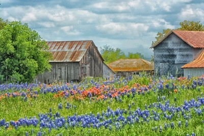 Bluebonnets and Barns 2015