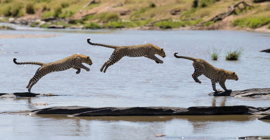 A Leopard is crossing a river. Leopards are hydrophobic ;) Masai Mara, Kenya  This sequence is a ...