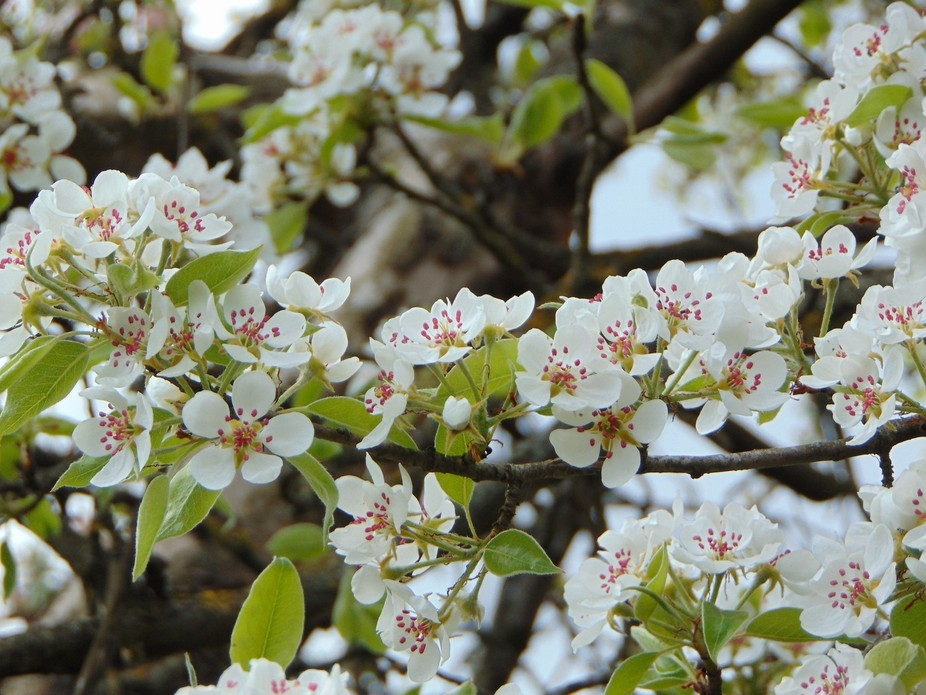 Pear flowers in early spring